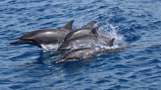 關島美人魚公主號出海行程 Alii Nui Dolphin Watching、Whale Watching